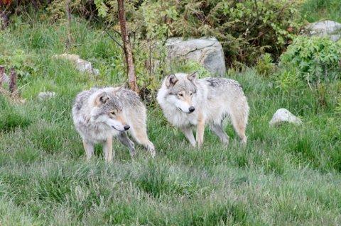 Hanne Michelsen fra Aurskog så tre ulver en drøy kilometer fra Aursmoen lørdag morgen. Bildet er av ulver i dyrepark.