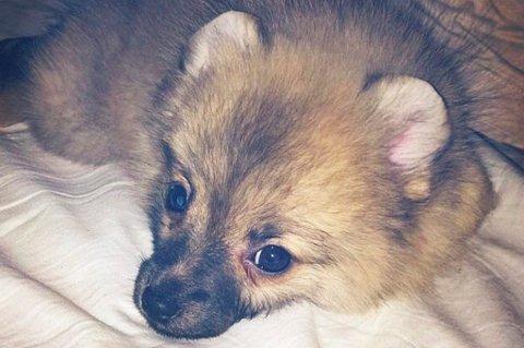 AVLIVET: Pomeranian-valpen Molly ble importert fra Bulgaria. På grunn av det måtte hun avlives, bare 13 uker gammel. FOTO: PRIVAT