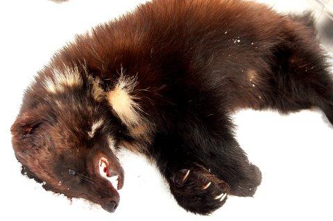 LISENSJAKT: Det er felt tre jerver på åte hittil i vinter. Kvoten under lisensjakta i Oppland er på 12 dyr.