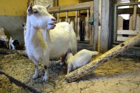 STOR FLOKK: På gården jobbes det nå med å bygge opp en større geitebesetning.