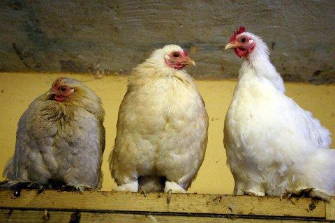 SOSIALE TUPPER: Hvem vet hva dagens samtaleemne er for disse kaklende Kochin-hønene?