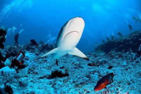 Nervepirrende, men rimelig ufarlige møter med grå revhai og rød snapper er blant Tahitis store trekkplastre.