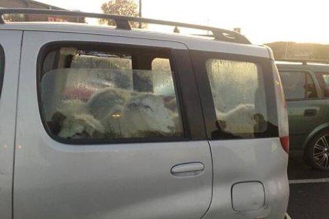 UVANLIG DYRETRANSPORT: Politiet fikk inn bekymringsmeldinger fra folk som observerte fem sauer og en gjeterhund i en Toyota Yaris på parkeringsplassen til Down Town i Porsgrunn. Det viste seg at dyra hadde det fint, og politiet konkluderer med at det ikke er forbudt å frakte sauer i lasterommet til en Yaris.