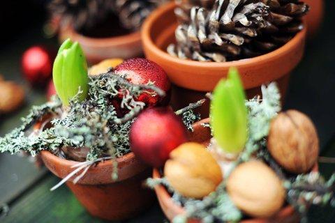 Sviblene liker ikke nattefrost, men om dagen får de være ute i friluft sammen med nøtter, julekuler og lav, plassert i ulike potter.