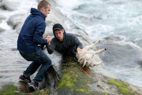 Torvald Ask held godt grep om kompisen Erik Bjørnøy då han grabba tak i lammet som hadde hamna i sjøen.