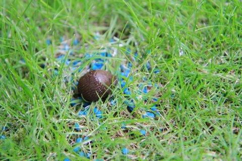 Sulter i hjel: Gift med jernfosfat dreper ikke sneglen i seg selv, men gir sneglen en metthetsfølelse i en slik grad at den slutter å spise, og sulter dermed i hjel.