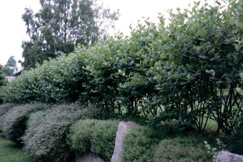 Hekk og trær skaper dårlig vær blant naboene.