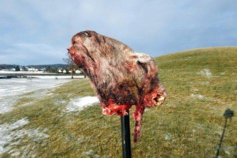 Grotesk: Alle sauehodene som var satt ut hadde avskårede ører. Dette hodet stod ved Gokstadhaugen i Sandefjord. (Foto: Olaf Akselsen, Sandefjords Blad)