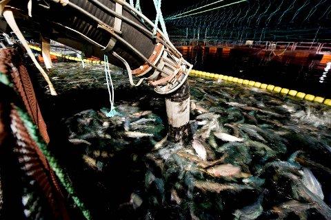 Her blir Lerøy-laksen sugd opp fra merden i Sørfjorden av en brønnbåt. Nåværende styreleder i sjømatgiganten Lerøy Seafood Group, Helge Singelstad, tjente fett på å ta et kortvarig opphold som toppleder i selskapet fra 2007 til 2008. (Arkivfoto)