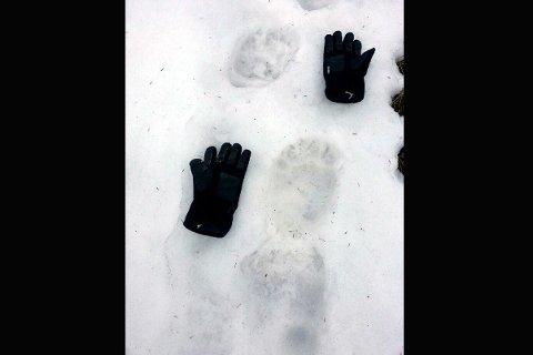 Knut Strandenes så spor etter bjørnen i Sjøseterlia overfor Lillehammer tirsdag morgen.