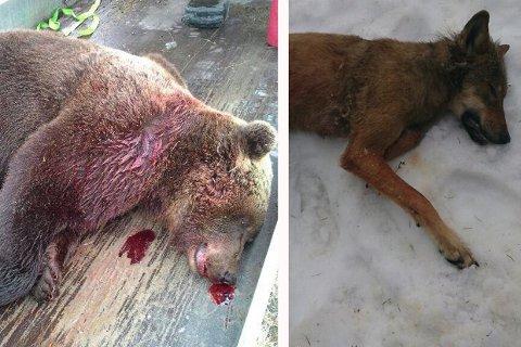 Bjørn og ulv ble skutt med kort tids mellomrom torsdag 15. mai i Øyer og Vågå.