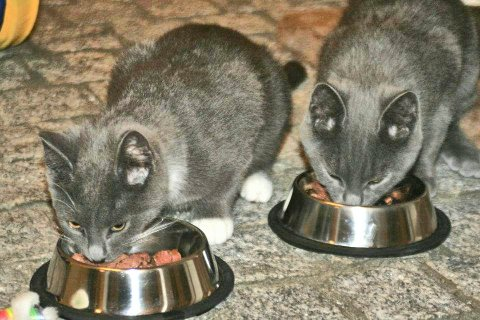 Sahras kattunger klager ikke på menyen på dette hotellet.