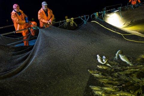 Seamatech AS har som mange andre erfart at det er vanskeleg å lukkast med torskeoppdrett.