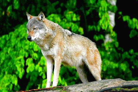 I FARE: Fra og med 1. oktober kan ulv som ferdes på Romeriksåsene stå i fare for å bli skutt på lovlig vis. Foto: Hallgeir Skjelstad