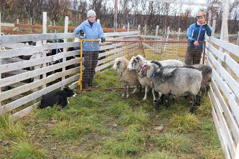Cugu (4) har akkurat geleidet en liten flokk i samlegjerdet og holder kontroll på sauene. I bakgrunnen Johan Schanche og Kjersti Schanche.