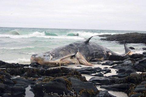 Foreløpig har ingen forurensningsmyndighet avgjort hva som skal skje med kadaveret som ligger ved Slettnes.