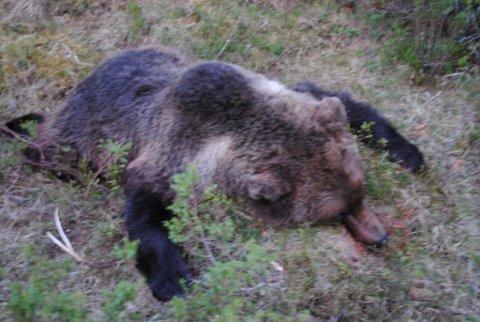 SKUTT: Her ligger hanbjørnen etter at den ble skutt i Gausdal i natt.