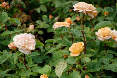 DYPT: Roser liker å ha røttene dypt nede i jorda.