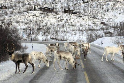 VEIDREPT: I tillegg til rovdyr, forsyner også tog og bil seg grovt av tamreinen i fylket. (Foto: Øyvind Bratt)