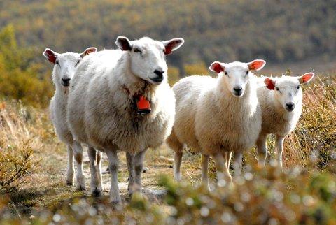Det er langt færre skader på sau og andre husdyr i Oppland hittil i år.