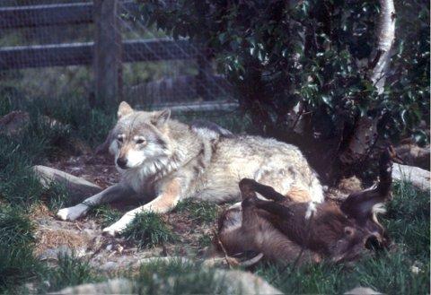 To personer mener å ha sett ulv på Eggemoen.