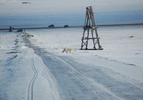 PÅ BYTUR: Her er isbjørnen på vei bort fra Longyearbyen. Byturen ble av det korte slaget. Foto: Sysselmannen på Svalbard