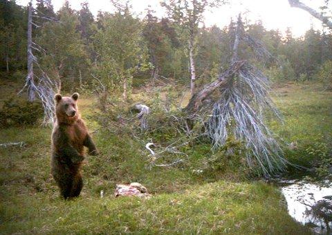 Denne bjørnen ble fotografert med viltkamera ved en bjørnedrept sau i Svenningdal for to år siden. Foto: Frank Hepsøe