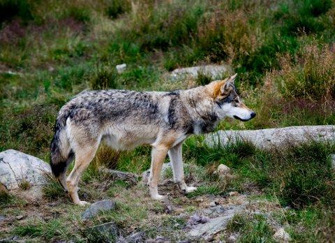 Tre ulver kan felles i Gudbrandsdalen.