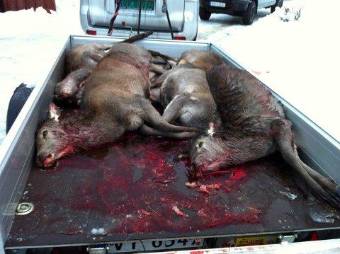 Veterinæren avlivet over 10 utsultede kalver i Todalen onsdag formiddag. Foto: Roald Sevaldsen.