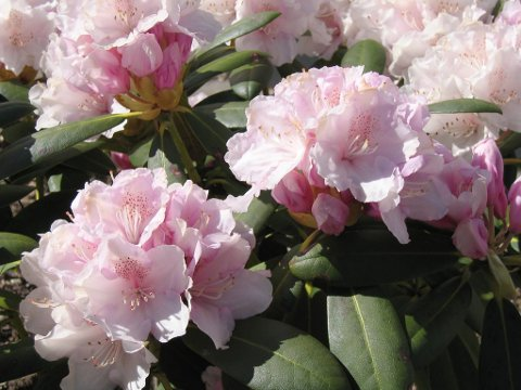 GRUNT: Rododendron trives best med røttene nær jordskorpa.