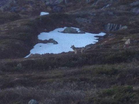 SKUTT: Det er trolig denne ulven, som ble fotografert tidligere i uken, som er skutt i Vang.