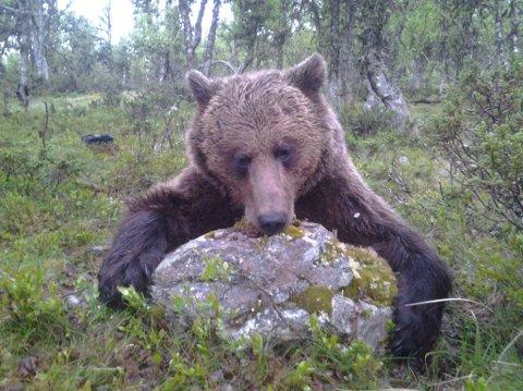 Denne bjørnen ble skutt natt til fredag. Bjørnen er Viltfondets eiendom og selges nå av Fylkesmannen til høystbydende.