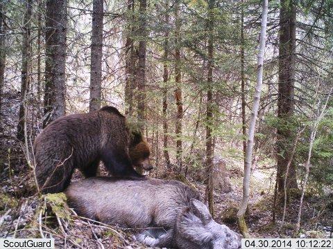 FORSYNER SEG: Elgen har bukket under av naturlige årsaker, og sulten bjørn forsyner seg.