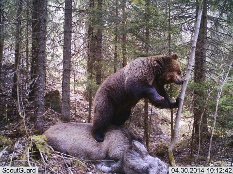 POSERER: Bjørnen har tatt plass oppå elgen.