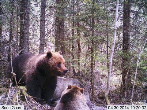 STOR AKTIVITET: Det var stor aktivitet fra de to bjørnene.