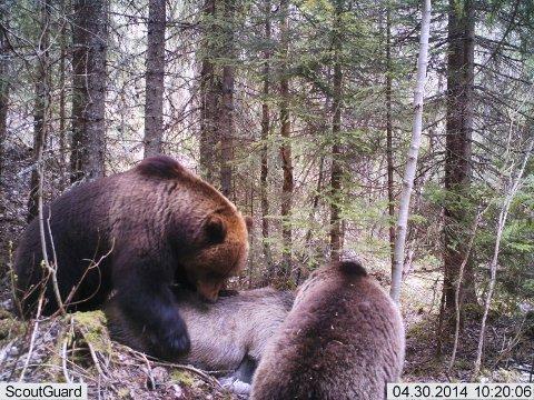 ETEGILDE: De to bjørnene har et etegilde på nærmere 13 timer på den døde elgen.