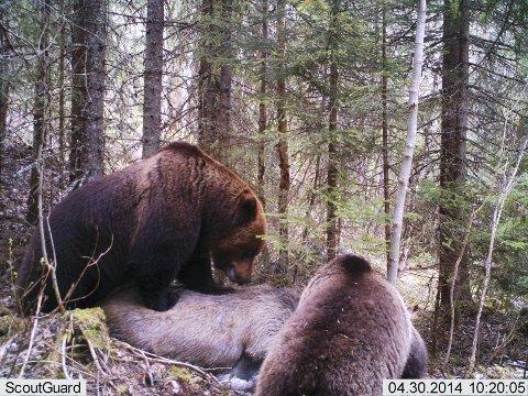 STOR: Det er store bjørner som har funnet fram til elgkadaveret.