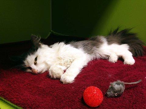 Lykke-Line er den tynneste katten veterinæren noen gang har sett. På grunn av pelsen er det vanskelig å se hvor avmagret den faktisk ser, men så fort man tar på den kjenner man at det er bare skinn og bein igjen. Flere politikere tar nå til orde for dyrepoliti.