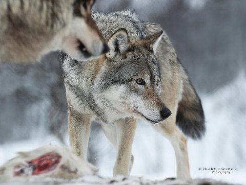 «The Leader of The Pack»: ? Her ser man en situasjon der ulvene har fått mat. Jeg valgte å ha fokuset på den bakerste ulven (lederen) for å få dybde i bildet samt det intense blikket og uttrykket. Man ser godt blikket til ulven noe som jeg prøver å framheve ved å ha fokuset på øynene. På den nærmeste ulven kan man skimte den ene hjørnetanna som kan gjøre det litt dramatisk. Jeg valgte også å dempe fargene til en gråtone, mens å beholde rødfargen i kjøttet, for da får man oftest litt fokus på det ? forteller Ida-Helene Sivertsen.