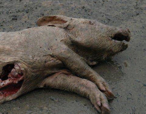 UHYGGELIG SYN: Én gris, av nærmere 20, lå igjen langs Wienlinna i Granåsen og vitnet om en stygg ...