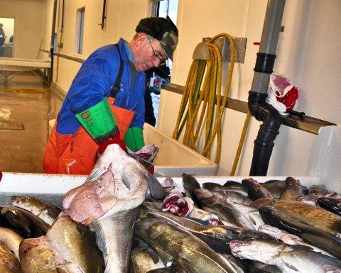 Rolf Andersen på juksabåten?Børingen? av Bø, dro masse fisk på juksa. Her med en torsk på 35 kilo som han fikk utafor Bø i Vesterålen 13.januar 2011.