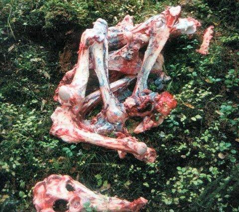 FORGIFTET ÅTE: Denne beinhaugen påsmurt giftstoffet Carbofuran ble oppdaget av en kar som gikk tur med hund i Kynna-reviret. Mannen klarte å hindre at hunden ble forgiftet.FOTO: Reidar Hoelstad
