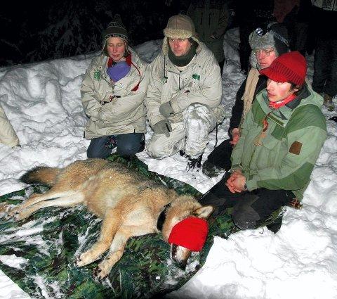 TROLIG SKUTT: Denne ledertispa i Rotnareviret ble radiomerket i februar 2006 og etter all sannsynlighet skutt i Grue senere, ifølge rapporten Petter Wabakken (i bakgrunnen har vært med og laget.