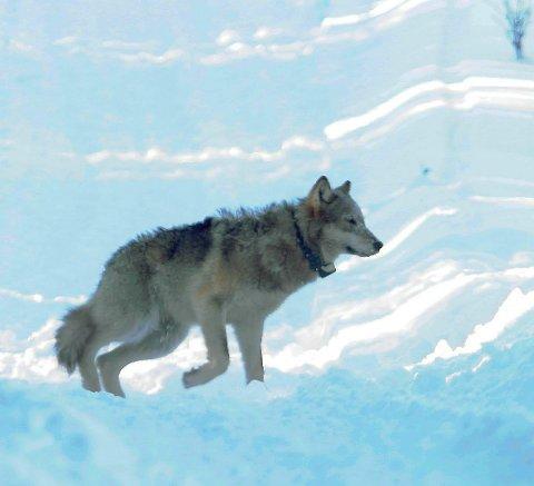 DÅRLIG DEKNING: Ulver som merkes i Rotna-reviret, slik som denne ulven på midten av 2000-tallet, kan forsvinne sporløst i ukevis, for så å dukke opp igjen på grunn av stedvis dårlig dekning inne på Finnskogen.
