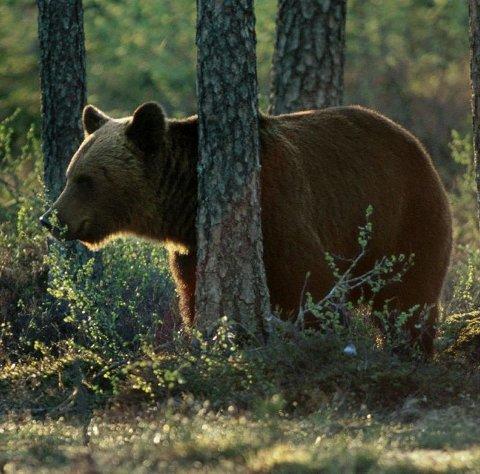 Samme bjørn? Både i Skaiti og i Sulis i Saltdal kommune er det observert bjørn i helga.