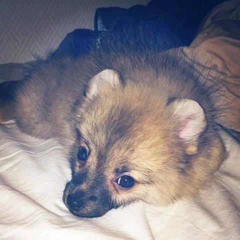 Avlivet: Pomeranian-valpen Molly ble importert ulovlig fra Bulgaria. På grunn av det måtte hun avlives, bare 13 uker gammel.Foto: Privat