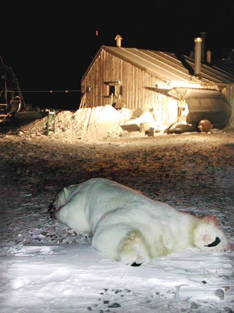 DØD ISBJØRN Den døde isbjørnen med fangsthytta til familien.