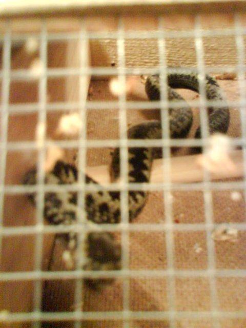 Christer Køhne i skadedyrfirmaet Cytox og Tor Kristoffersen, senterleder og eier av Tor Zoo, fikk ormen på plass i buret.