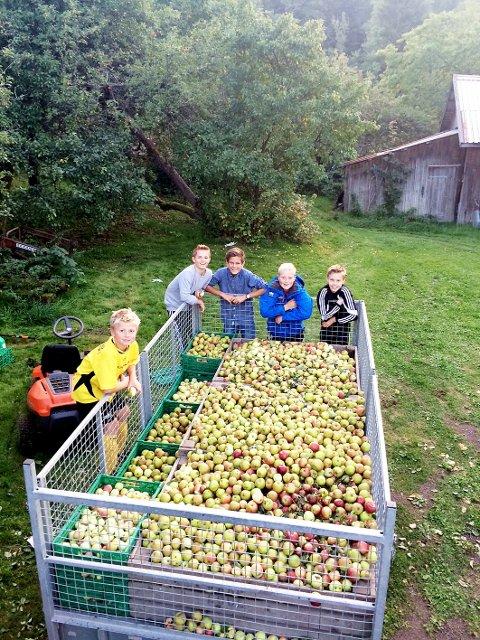 Tar vare på ressursene: Med eplehøstingen til idrettslaget blir det ikke bare penger i kassa, men en viktig ressurs tas vare på i stedet for å råtne på bakken. Begge foto: Gullhaug IL