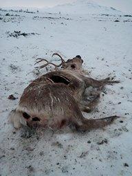 Nærmere 40 reinsdyr er drept.